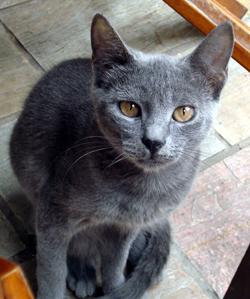 Chats de Crete. Mignon chat gris de Crete © AlmazUK