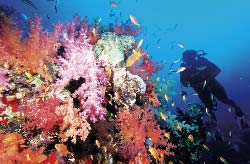 Egypte, mer Rouge, alcyonaires (coraux mous) et plongeur