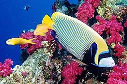 Egypte, Mer Rouge, poisson-ange empereur et alcyonaires (coraux mous) roses