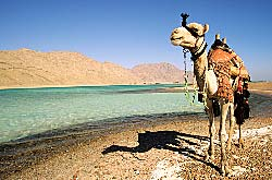 Egypte, Sinaï, dromadaire et lagune de la réserve naturelle d'Abu Galum