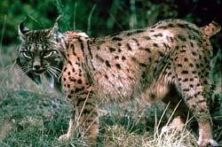 Lynx d'Espagne ou pardelle, Huelva