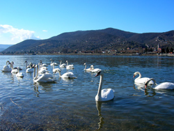 A herd of swans on the Danube © stephane martin