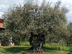 Olivier séculaire - Massa, Italie © Larry Ferrante