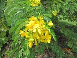Yellow flowers in Tahiti © Michael Stout
