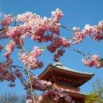Cerisiers en fleurs - Japon