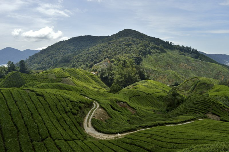Plantations de thé malaisiennes