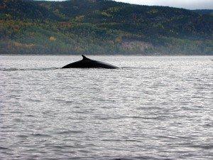 Baleine - Tadoussac, Québec, Canada