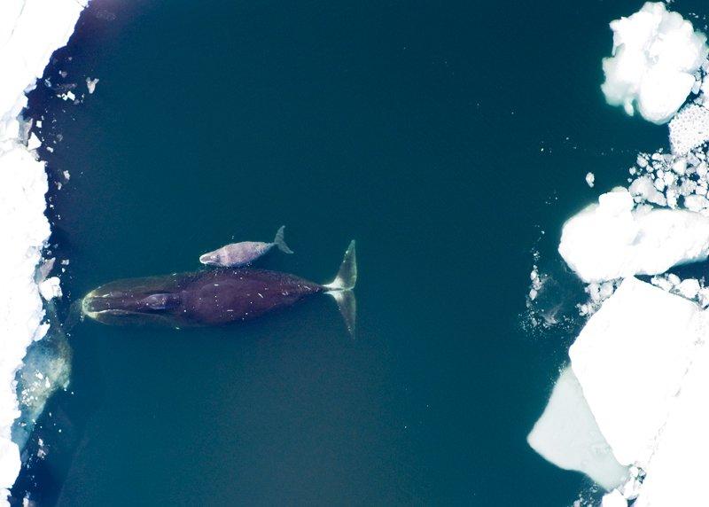 une baleine boréale et son petit observées près du détroit de Lancaster, au Canada