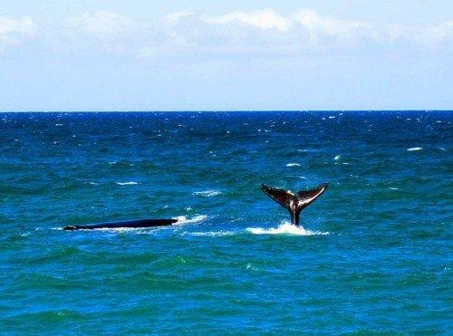 Baleines à Puerto Madryn, Patagonie, Argentine