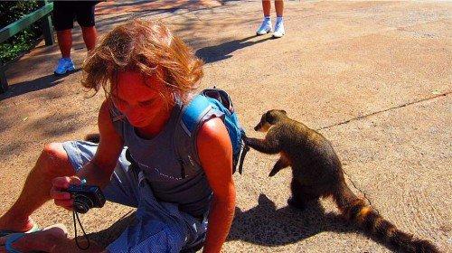 Coati et touriste, Foz do Iguaçu - Brésil