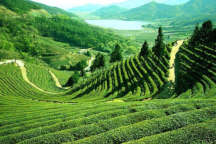 Darjeeling, théiers - Inde