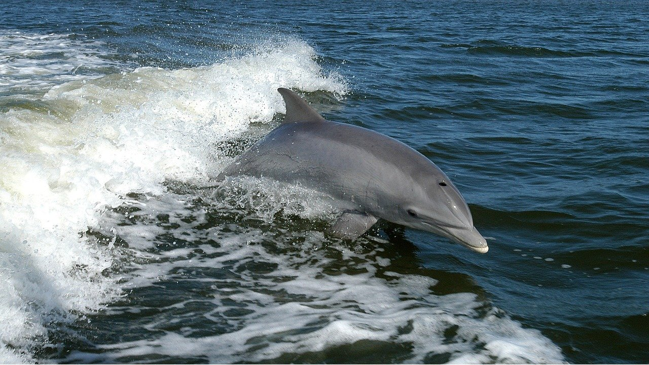 Des dauphins choux-fleurs ?