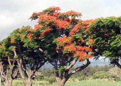 Flamboyant, île de la Réunion