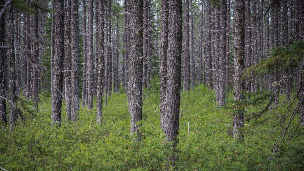 La forêt boréale canadienne