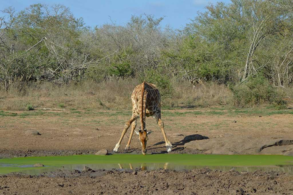 Girafe se désaltérant