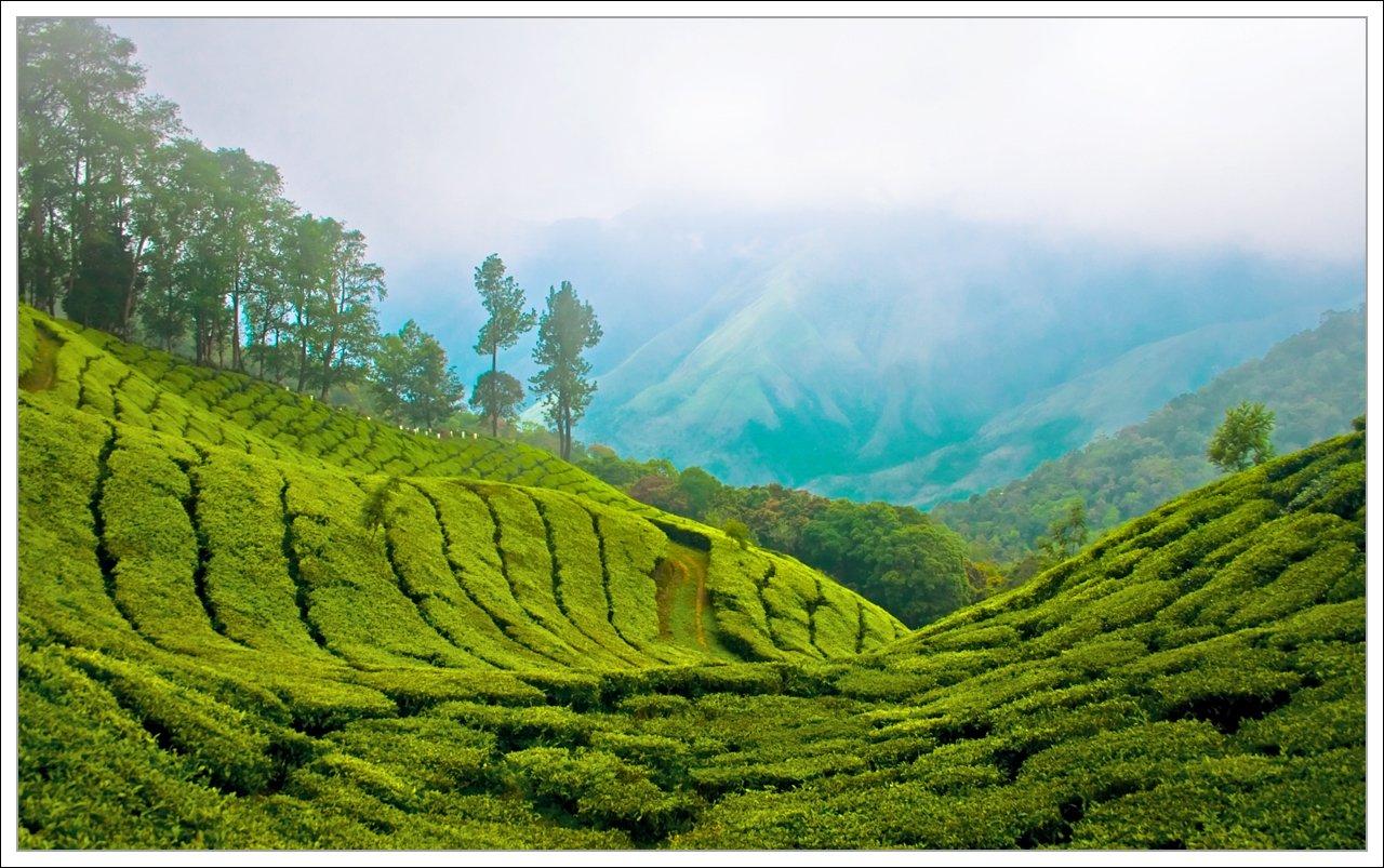 Plantations de thé - Munnar; Kerala, Inde