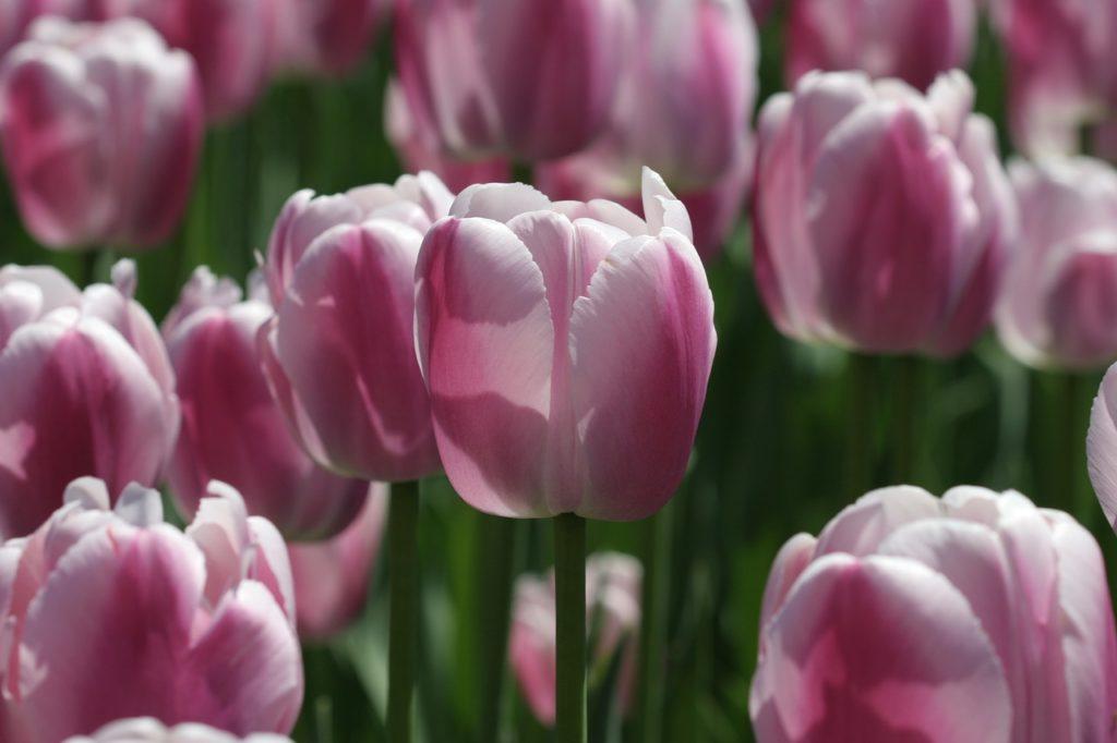 Ottawa, fêtes des tulipes, Canada