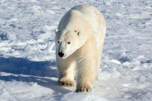 Ours blanc, Churchill, Manitoba - Canada