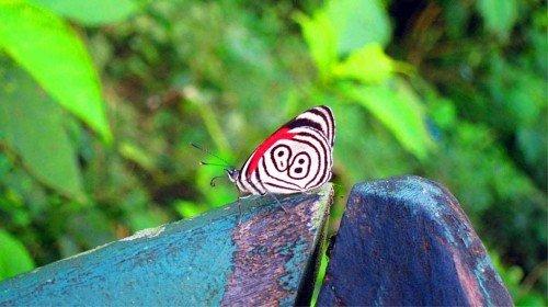 Papillon,  Foz do Iguaçu - Brésil