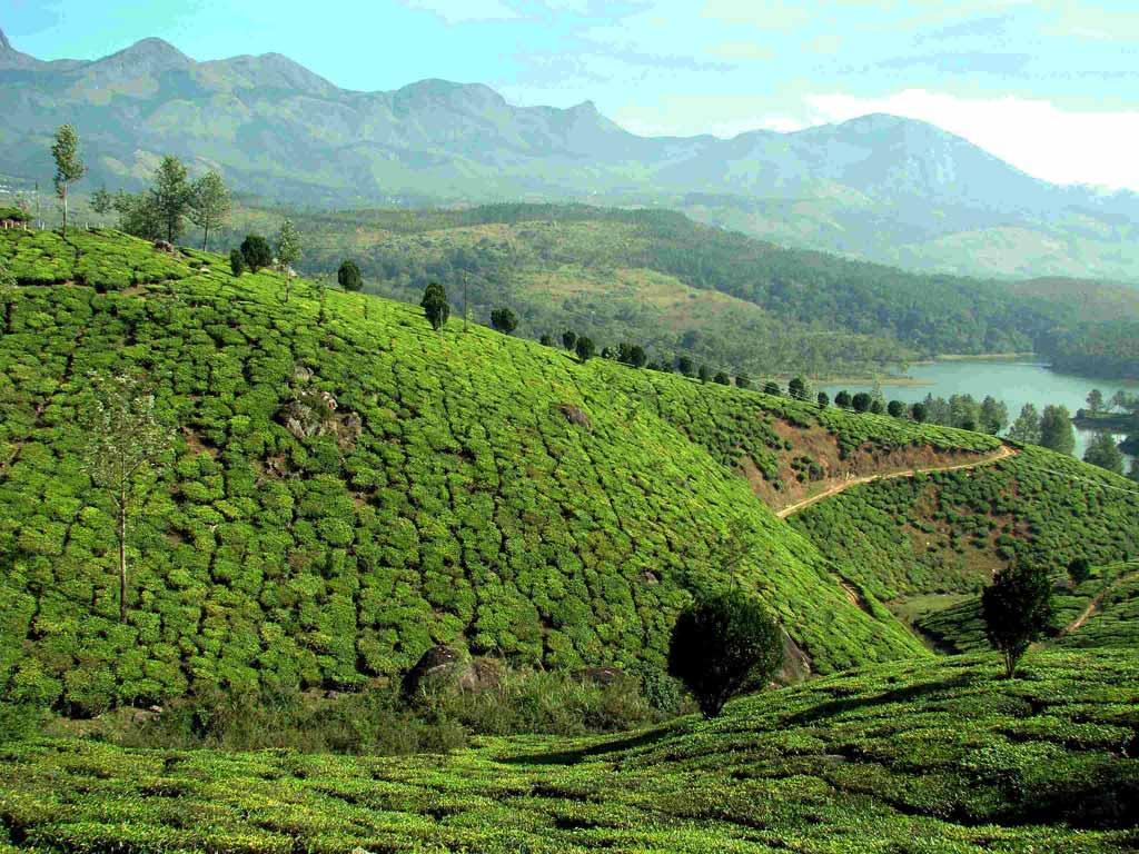 Plantations de thé - Periyar, Kerala, Inde
