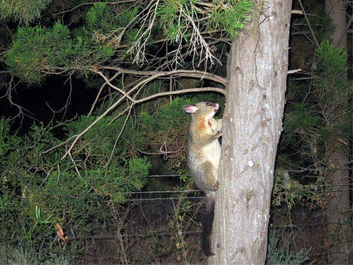 Possum, Australie