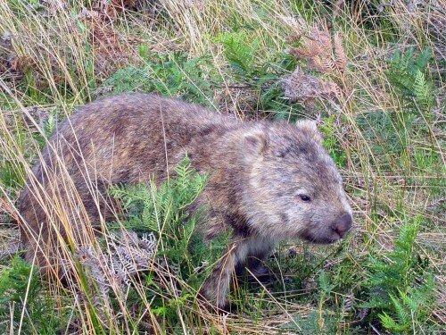 Wombat - Woodland Walk, Australie